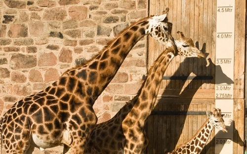 Comparing giraffes - like business broadband{{}}