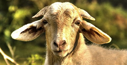 Photo of a goat{{}}