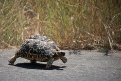 Tortoise{{}}